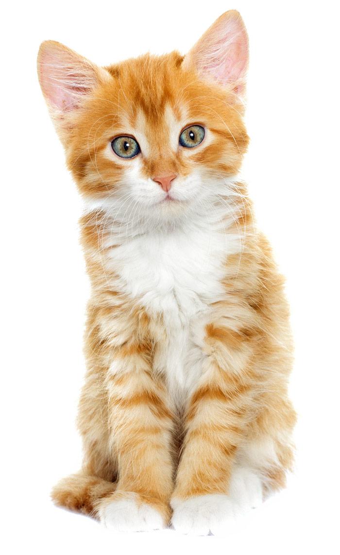 orange-kitten